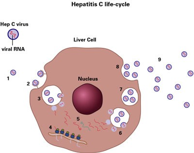 Faq About Hepatitis B